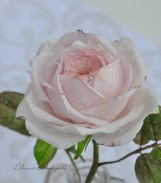 Sugar Rose by Evgenia Vinokurova