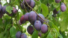 Buy Plum - Prunus domestica 'Marjorie's Seedling' online from Jacksons Nurseries Childrens Gardening Tools, Starting A Vegetable Garden, Garden In The Woods, Prunus, Garden Table, Fruit Trees, Good To Know, Plum, Vineyard