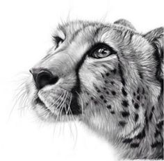 Browse through a collection of wildlife paintings and drawings by Richard Symonds. Pencil Drawings Of Animals, Animal Sketches, Art Sketches, Horse Drawings, Wildlife Paintings, Wildlife Art, Cheetah Tattoo, Big Cat Tattoo, Drawn Art