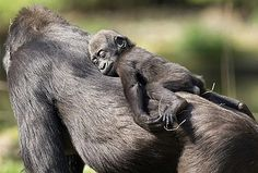 #Baby #Mommy #Gorilla #Animal