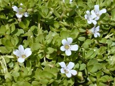 BRAHMI Bacopa monnieri.  Frost tender perennial creeper. it's a bog plant that likes moist conditions.  Can grow in hanging pots for ease of harvest.