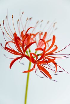Lycoris radiata (red spider lily), the flower seen in Kaneki's subconscious in Tokyo Ghoul, Aogiri arc All Flowers, Amazing Flowers, Beautiful Flowers, Tokyo Ghoul Flower, Red Spider Lily, Red Bouquet Wedding, Arte Floral, Flower Wallpaper, Iphone Wallpaper