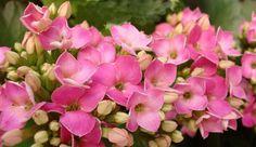 Cómo hacer que un Kalanchoe vuelva a florecer - http://jardineriaplantasyflores.com/como-hacer-que-un-kalanchoe-vuelva-a-florecer/