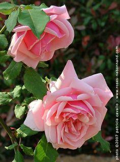 Emmanuella de Mouchy, grimpant de 4 à 5 m, offre une floraison précoce, mais de longue durée, remontante  en régions chaudes. Les grosses fleurs en coupes de 12 cm, globuleuses, sont d'un  d'un rose vif chaud avec des nuances dorées à leur épanouissement et un délicieux parfum de thé. Hybride de gigantea. Nabonnand, 1922.