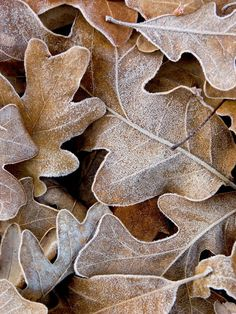 morning frost on oak leaves