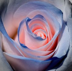 Light Pink rose with blue edging #RoseGarden