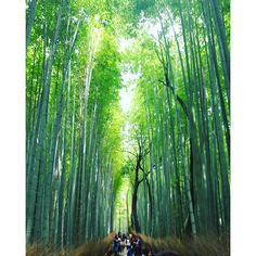【pokemon_paul】さんのInstagramをピンしています。 《Getting lost in Kyoto's bamboo forest #Kyoto #Japan #Bamboo #Forest #Nature #京都 #日本 #竹 #森 #自然》