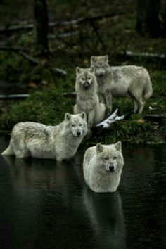 Please protect our endangered wolves.