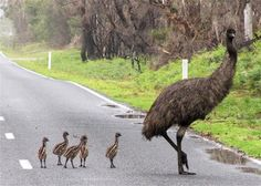 Emu and her chicks.  It is the largest bird native to Australia. The largest can reach up to 1.9m in height.