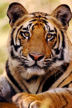 http://cache1.asset-cache.net/gc/103822523-portrait-of-19-month-old-male-bengal-tiger-gettyimages.jpg?v=1&c=IWSAsset&k=2&d=Zleqf%2F0HUM7UvPeyhX96YOfrEJNN56ZftbpUq5iw3KI%3D