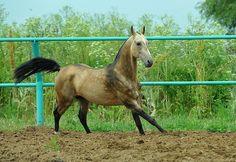 #horse #akhal #teke #tauro