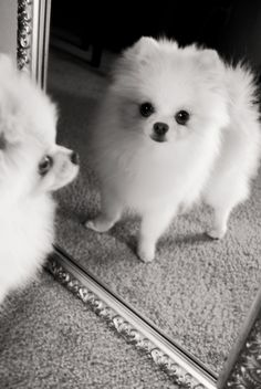 Pomeranians can be so vain!