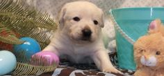 boy born 3-3-15 English Lab Puppies, Labrador Retriever, Boys, Animals, Labrador Retrievers, Baby Boys, Children, Animaux, Animal