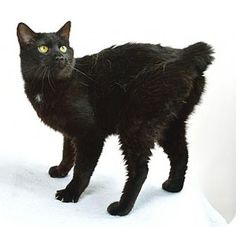 Oxford, MS - Domestic Shorthair. Meet Ernest, a cat for adoption. http://www.adoptapet.com/pet/12977705-oxford-mississippi-cat