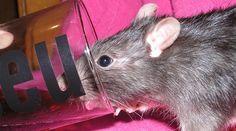 Comment se Débarrasser des Rats ? Utilisez du Coca-Cola Comme Dératiseur Puissant.