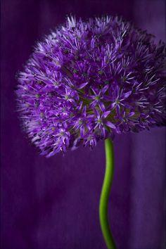 Natures Doorways ~ Purple Allium: