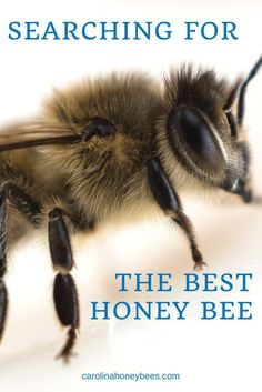New beekeepers often struggle to choose the best type of honey bee. Different types of honey bees share common characteristics. Find the best bee for your backyard beehive. Types Of Honey Bees, Bee News, Beekeeping For Beginners, Farm Lifestyle, Raising Bees, Backyard Beekeeping, Best Honey, Bee Friendly, Beekeeping