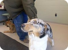 Joplin, MO - Australian Shepherd Mix. Meet 68515 a Dog for Adoption.