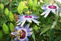 Passion Flower Maypop and Passion Vine Passiflora incarnata Passifloraceae