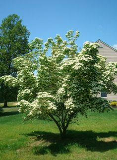 Cornus kousa (meerstammig) Dogwood english name