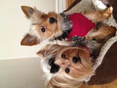New sweaters for the yorkie puppies
