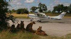 With a flying safari, you can enjoy the thrill of exploring the heart of Africa at low altitude, grasping its wild nature and boundless horizons. You can easily move from one lodge or camp to the next, saving time, but the most unique aspect is that, above the air, you get a different viewpoint of uncommon landscapes.  ©Wilderness Air|Botswana