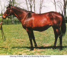Glowing Tribute, 1993 Broodmare of the Year, and blue hen daughter of Graustark, leading broodmare sire 1985 in Britain & Ireland.  Glowing Tribute foaled Sea Hero, the 1993 Kentucky Derby and Travers winner and six other stakes winners. Glowing Tribute was half-sister, through their sire Graustark, to Key to the Mint, Stark Winter (dam of top turf horse Bien Bien), and Outward Sunshine (dam of Sunshine Forever, American Champion Male Turf Horse 1988).