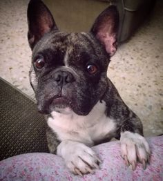 """""""Why you no share your foodies with me?"""", funny French Bulldog"""