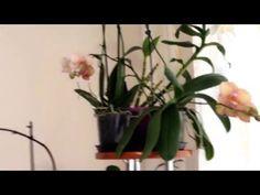Как правильно ухаживать за Орхидеями. Много полезных советов - YouTube