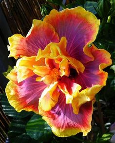 Magic Hibiscus Gator Beautiful gorgeous pretty flowers