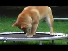 A compliation of cute animals on trampolines.. there's even a buffalo!