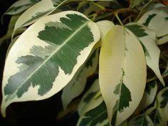El ficus benjamina es una higuera autóctona del sur de Asia así como del norte de Australia. Se cultiva como planta de interior en todo el mundo con diversas formas, como árbol de interior o como p…