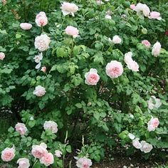 ~'Sharifa Asma'  Small bush with rugosa foliage.'Old rose fragrance with a strong myrrh influence.[Mary Rose x Admired Miranda] Named after an Omani princess..~