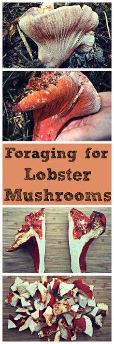 Foraging for Lobster Mushrooms~ An easy to identify and tasty 'shroom! www.growforagecookferment.com