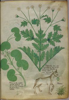 Miniature of plants and a donkey - (Tractatus de Herbis - Sloane 4016 f. 6) | Flickr - Photo Sharing!