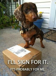 """Dachshund meme - """"I'll sign for it."""" From View from the Birdhouse: Dear Abby - 15 Dachshund Memes Dachshund Funny, Dachshund Breed, Dapple Dachshund, Dachshund Love, Funny Dogs, Funny Animals, Cute Animals, Daschund, Dachshund Gifts"""