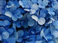 Take a look!!! It's a GREAT year for hydrangeas!!!!-11