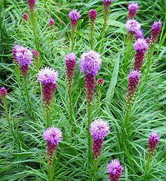 "Prachtscharte - blazing star or prairie gay feather - Langakset Pragtskær (Liatris spicata) – som ofte kaldes ""Lampepudser"",  hårdførhed, tørketålsomhed, biplante, staude. Native to moist prairies and sedge meadows."