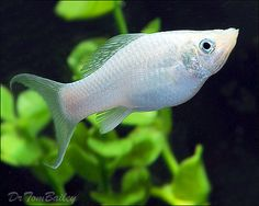 Silver Lyretail Molly We only had 'Halo' for a short period if time. She died within a couple weeks of bringing her home.all our Dalmatian Mollies are thriving & breeding like nobody's business! Tropical Fish Store, Tropical Fish Aquarium, Freshwater Aquarium Fish, Big Aquarium, Beautiful Tropical Fish, Beautiful Fish, Platy Fish, Buy Puppies, Animals