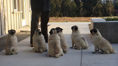 One day I would like my very own pug army too.