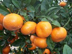 España: Valencia producirá 1.500 toneladas de mandarinas - Asociación Tucumana del Citrus - Tucumán - Argentina