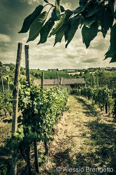 Langhe, Piemonte, Italy -- vineyard landscapes just accepted to the UNESCO World Heritage List as Langhe-Roero  Monferrato Landscape!