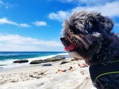 At the beach! Soaking in that summer sunshine 🌞  #charlythemaltizu #maltese #shihtzu #maltizu #dogsofinstagram #doggo #puppygram #pupper #relaxation #nature #sandiego #delmar #lajolla #carmelvalley #california #socal #animals #love #cutie #adorable #summer #sunshine #instalike #beach #water #model #windandsea #lajollalocals #sandiegoconnection #sdlocals - posted by Charly 🚀  https://www.instagram.com/charly_the_maltizu. See more post on La Jolla at http://LaJollaLocals.com