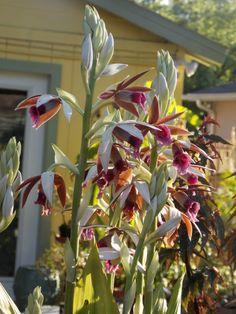Nun's orchid