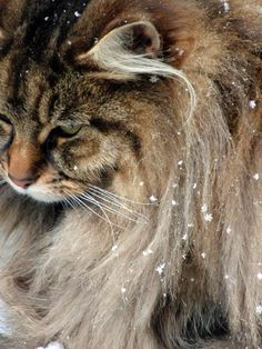 Norwegian Forest Cats ARE TYPICALLY 5 lbs. HEAVIER THAN MAINE COON CATS....around Christmas time.