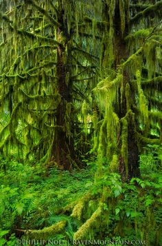 Forest,Hall of Mosses,Hoh Rainforest,Moss,Olympic National Park,Rainforest,Trees,USA,Verdant,WA,Washington, photo