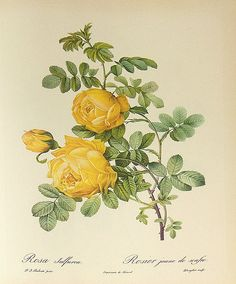 File:Rosa sulfurea 001.JPG  It was painted by Pierre-Joseph Redouté (1759–1840). This work is in the public domain in the United States, and those countries with a copyright term of life of the author plus 100 years or less.