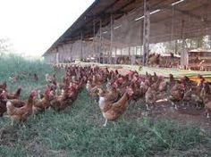 criação organica de aves e outros animais - Pesquisa Google