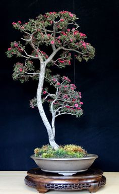 Are you interested in getting an indoor bonsai tree? If you are, then you definitely need to learn about how you can take good care of your tree so that it will survive life indoors. Ikebana, Bonsai Plants, Bonsai Garden, Bonsai Trees, Indoor Bonsai, Air Plants, Cactus Plants, Plantas Bonsai, Decoration Plante