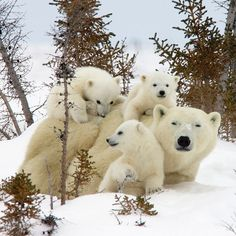 Three polar bear cubs demand their mum's attention as they clamber over her at Wapusk National Park near Manitoba, Canada Picture: Matthias Breiter